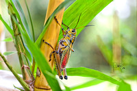 Wise Grasshopper Bamboo